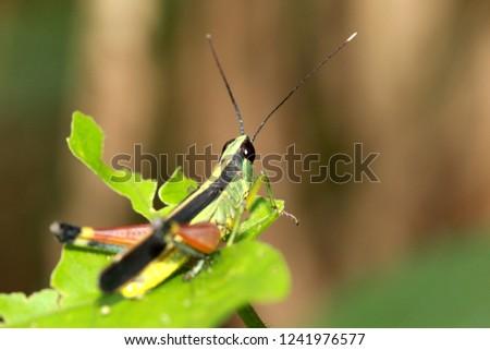 Meadow grasshopper, grasshopper #1241976577
