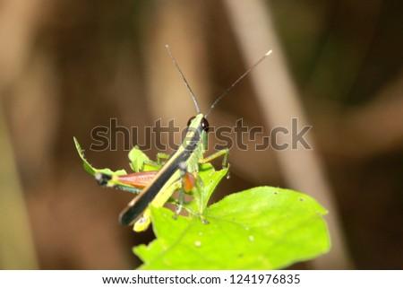 Meadow grasshopper, grasshopper #1241976835