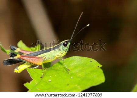 Meadow grasshopper, grasshopper #1241977609