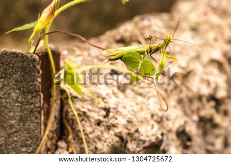 Meadow grasshopper, grasshopper #1304725672