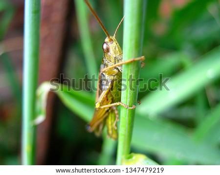 Meadow grasshopper, grasshopper on the grass in field. #1347479219