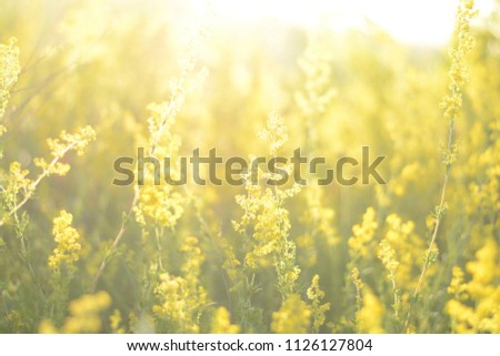 Meadow morning. Nature background with grass and wildflowers field. Lawn in the sunlight. Soft focus. Sunrise or sunset