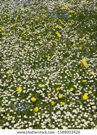 Meadow of daisy and dandelion flowers