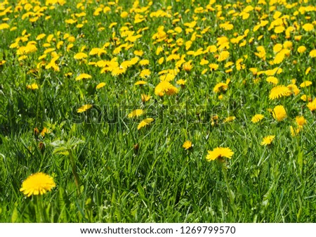 Meadow of dandelions on a sunny day photography. Yellow flowering in spring garden. Outdoor country flowers. Weed in the grass shoot. Nature floral picture.