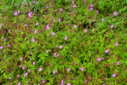 Meadow of many flowers Geranium robertianum plant