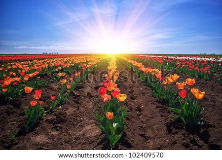 Meadow of tulips. - stock photo