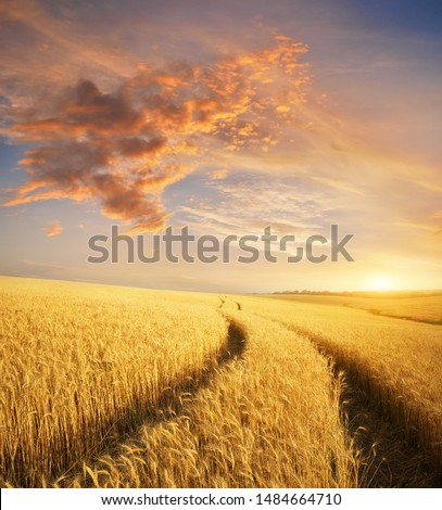 Meadow of wheat at sunset. Nature composition. #1484664710