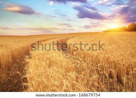Meadow of wheat. Beautiful landscape.  #168679754