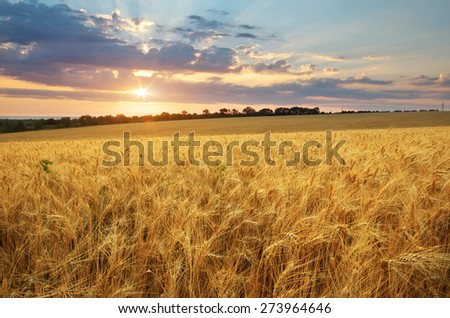 Meadow of wheat. Nature composition. #273964646