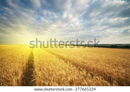 Meadow of wheat. Nature composition. #277665224