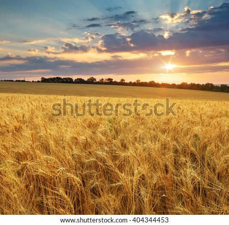 Meadow of wheat. Nature composition. #404344453