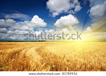 Meadow of wheat. Nature composition. #81789916