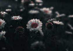 Meadow of white daisy flowers with dark , moody colors . Close up of Daises blossom blooming in a field or garden with somber and scenic colors for floral design concept . Selective focus , Copy space