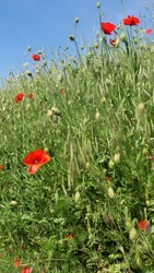 Meadow on a slope with poppies, these are deciduous, annual to biennial herbaceous plants, flowers are solitary, at the end of the stem. The hermaphroditic flowers are radial symmetry and four-fold