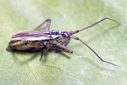 meadow plant bug  (Leptopterna dolobrata)