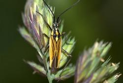 meadow plant bug  (Leptopterna dolobrata) on a blade of grass