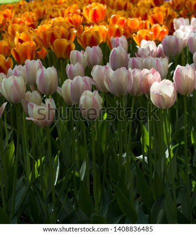 meadow with beautiful colorful tulips in spring illuminated by the sun  #1408836485
