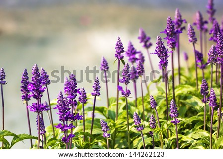 Meadow with blooming Blue Salvia herbal flowers. Blue Salvia is plant in the mint family.