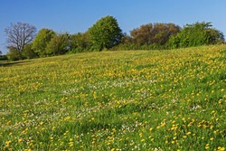 Meadow with common dandelions and common daisies in Schleswig-Holstein, Germany. In the background hedgerow. Spring landscape.