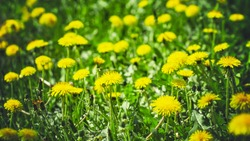 meadow with dandelions on a sunny day. dandelions in spring. flowering dandelions closeup.