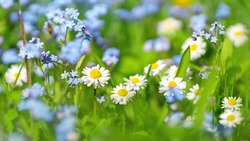Meadow with lots of colorful spring flowers on sunny day. Nature floral background in early summer with fresh green grass.