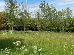 Meadow with wild flowers, a dry stone wall and trees near, Oxenhope, Keighley UK