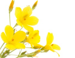 meadow yellow flower on a white background