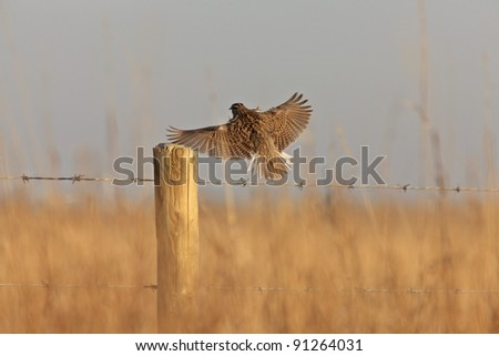 Meadowlark in Flight Saskatchewan Canada