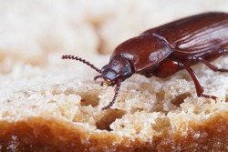 meal beetle, tenebrio molitor, close up of the head, the beetle is sitting on bread