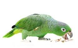 Mealy Amazon parrot (Amazona farinosa) eating of a white background