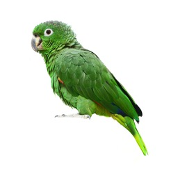 Mealy Amazon parrot (Amazona farinosa) in front of a white background