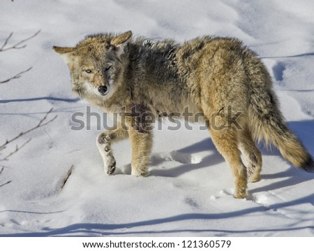 Mean Looking Coyote