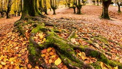 Meandering roots in autumn colored forest with strangely sculptured trees in Spain
