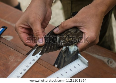 Measuring the wing of a bird, feathers. Collection of data on different species of birds, scientific research. A wooden table, the background is blurred.