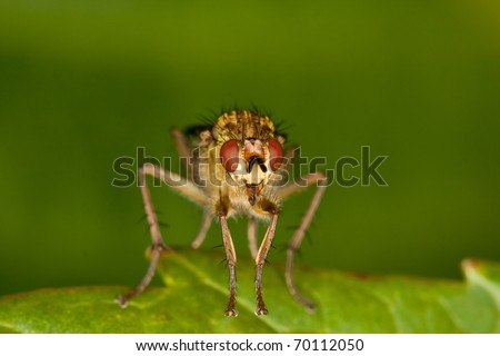 Meat-fly in closeup