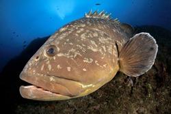 Medes islands grouper in the blue