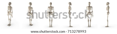 medical accurate female skeleton renders set from different angles on a white. 3D illustration