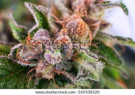 Medical Cannabis bud