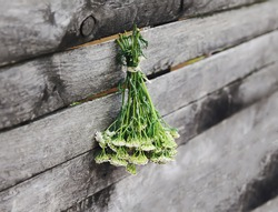 Medical herbs in bunches hanging on the old rough wooden wall in drying process. Yarrow or Achillea millefolium plant