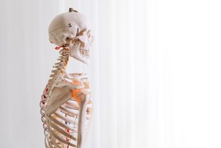 medical mannequin of human skeleton, skull, bones and joints