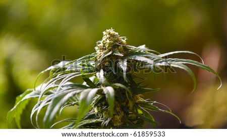 Medical Marijuana  grown within a greenhouse in accordance with California state law.
