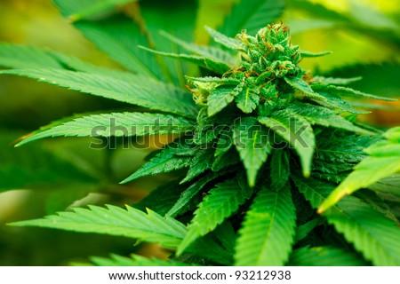Medical Marijuana Plant