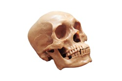 Medical model plastic cranium, human head, skull  isolated in white background with clipping path.