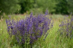 Medical plant Salvia pratensis in the meadow. Known as meadow clary or meadow sage. Wild plant with purple flowers in the spring.