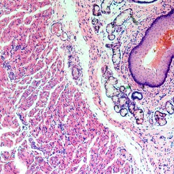 medical science stratified squamous epithelium tissue cell micrograph