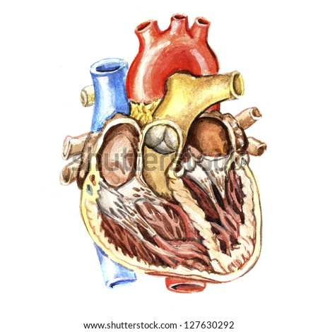 Medical watercolor drawing heart