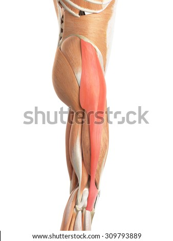 medically accurate illustration of the tensor fascia lata Zdjęcia stock ©