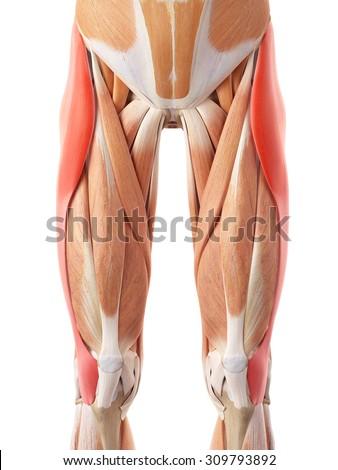 medically accurate illustration of the tensor fascia lata Foto stock ©