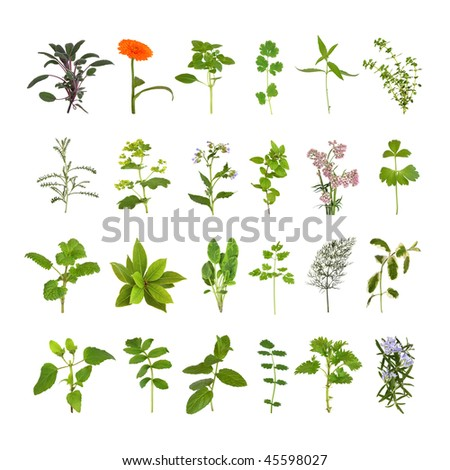 Medicinal and culinary herb flower and leaf selection, isolated over white background.
