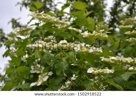 Medicinal fruits. Red berries. Tea, syrup, jam. Home garden, flower bed. Viburnum, a genus of woody flowering plants Adoxaceae. Useful tree plant. Green branches. White flowers #1502918522